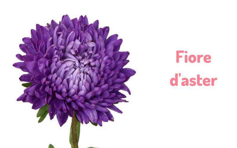 Fiore d'aster