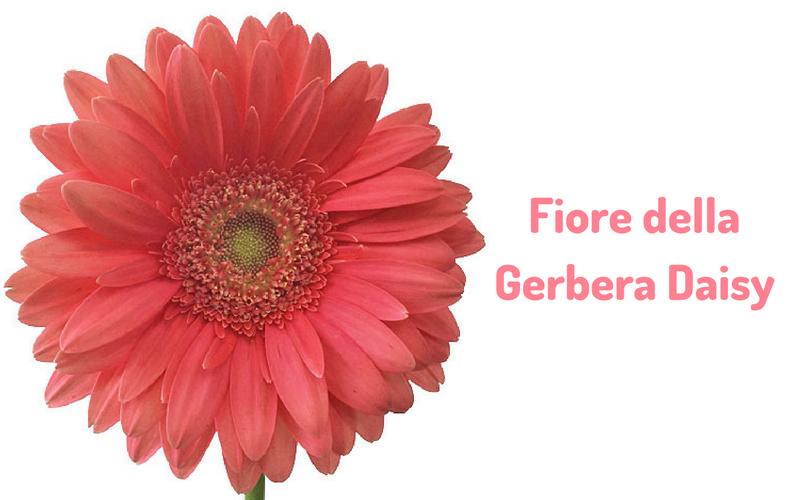 Fiore della Gerbera Daisy