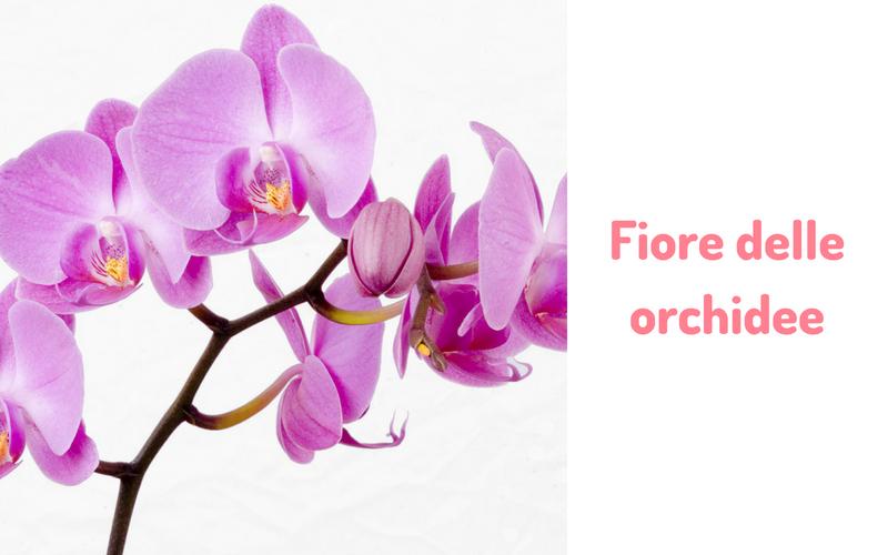Fiore delle orchidee