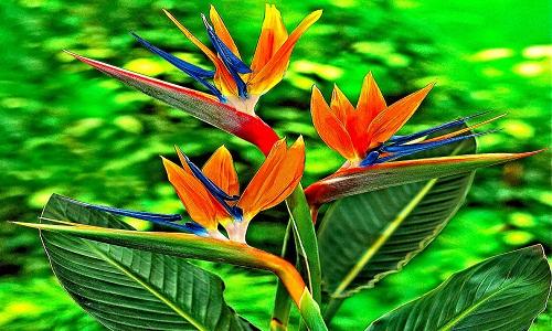 6)Uccelli del paradiso