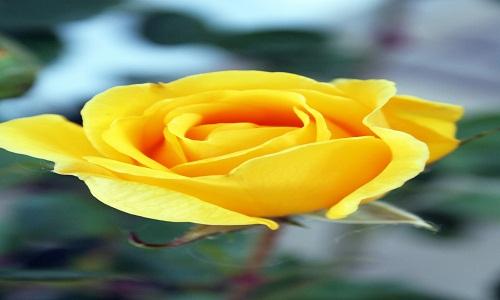 4) Rosa gialla