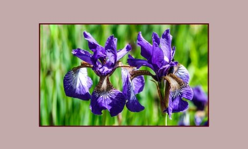 6. Iris