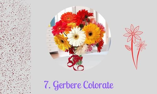 7. Gerbere Colorate