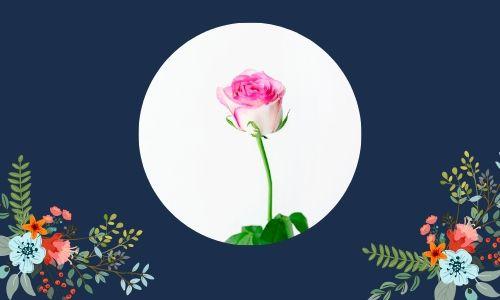3. Rosa singola