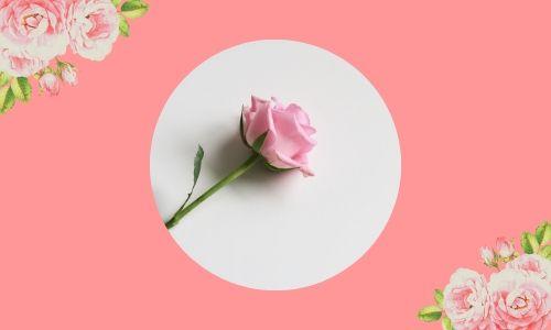 4. Belle rose
