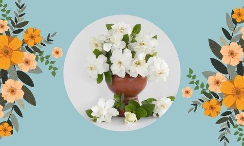 5) Gardenia