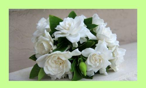 4) Gardenia