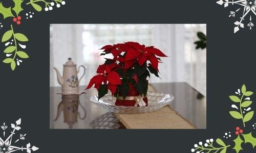4. Poinsettia