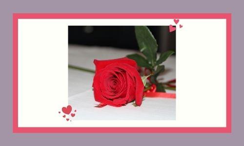 1. Bella rosa rossa
