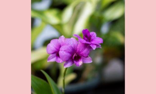 1. Orchidee Phalaenopsis