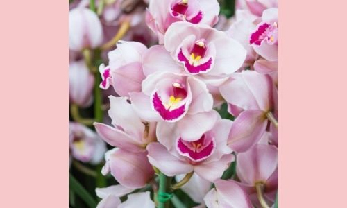 3. Orchidea Cymbidium