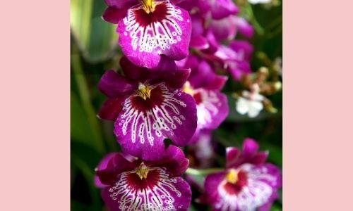 5. Miltonia Orchid